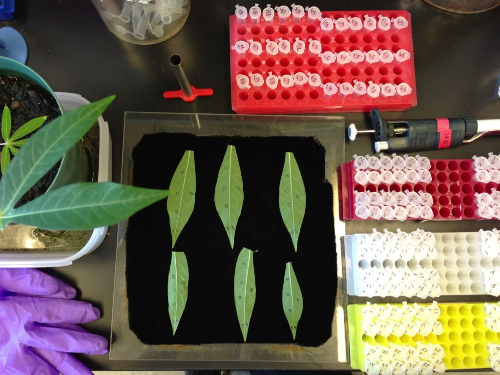 Materials for a bacterial growth assay, including infected cassava leaves and sample tubes for collecting, diluting, and plating plant material to quantify Xanthomonas growth. There are leaves laid on a black surface, next to racks of small laboratory sample vials.